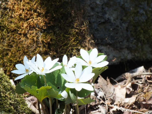Blood root in bloom on a glorious day to  be on Mount Independence.