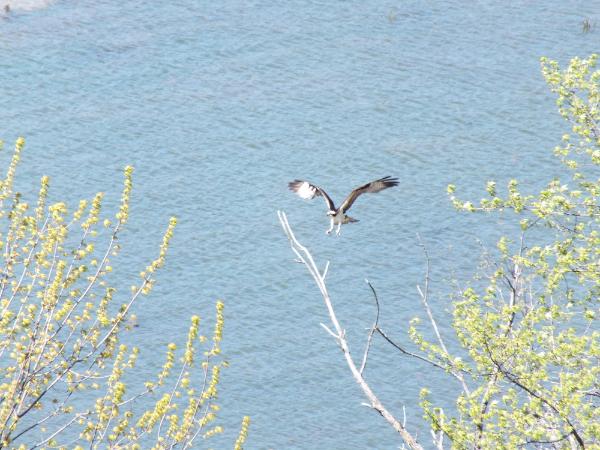 Osprey over Catfish Bay on Lake Champlain.