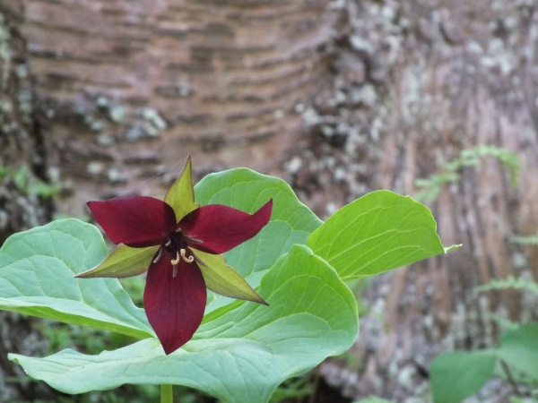 Red Trillium growing on the slopes along the ravine of the blue trail on Mount Independence.